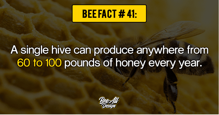 Bee Fact #41: Single hive can produce 60 to 100 pounds of honey every year.