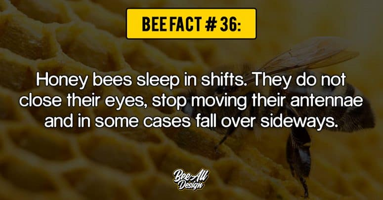 bee fact #36: Honey bees sleep in shifts